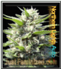 Auto Northern Lights Blue Just Fem Mix & Match Seeds
